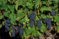 Europe/France/Centre/37/Indre-et-Loire/Azay-le-Rideau : Vieilles vignes cépage grolleau - AOC Azay-le-Rideau