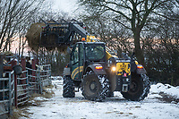 26-1-2021 New Holland tele-handler being used to feed beef cattle in yards <br /> ©Tim Scrivener Photographer 07850 303986<br />      ....Covering Agriculture In The UK....