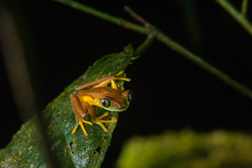 Lemur Treefrog (agalychnis lemur) - This critically endangered frog survives in only a few sites in Costa Rica. Its colors vary dramatically between day and night, with specimens exhibiting a ghostly light green dorsal coloration during the day. Siquerres, Costa Rica.