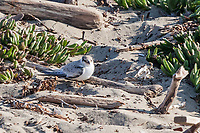 A small sandpiper, possibly a Least Sandpiper on the sand at Encinal Beach in Alameda.