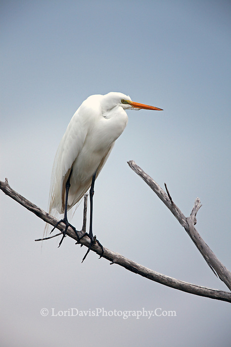 Great Egret on Branch #E15