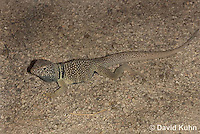 0612-1002  Male Great Basin Collared Lizard (Mojave Black-collared Lizard), Mojave Desert, Crotaphytus bicinctores  © David Kuhn/Dwight Kuhn Photography