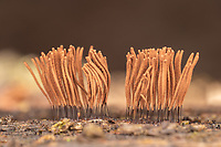 Chocolate Tube Slime Mold (Stemonitis sp.) brown fruiting bodies (sporangia) growing on a rotting log.
