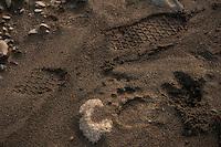 150620-JRE-7981E-0547<br /> The tracks of a fly fisherman, a brown bear, and a caribou mingle on a sandbar on an interior Alaska stream.