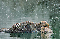 Alaskan or Northern Sea Otter (Enhydra lutris) mom rests while carrying pup during late winter snowstorm.  Alaska.
