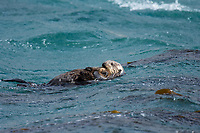Southern Sea Otter mom holding tight to young pup in rough surf.  Central California.