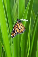 Monarch butterfly (Danaus plexippus) on blue flag iris (Iris versicolor), summer, North America.
