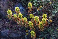 Castilleja affinis - yellow flower - Coast Indian Paintbrush flowering  in California native plant garden, Regional Parks Botanic Garden, Berkeley, California