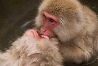 Japanese macaques, or snow monkeys, bathing in the hot springs baths at Jikokudani Yaen Park, Nagano, Japan.