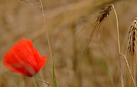Weithin leuchtet der Mohn, wenn sich die Aehren des Weizens faerben. Besonders schoen pigmentiert der Mohn zwischen Krostitz und Eilenburg die Feldfruechte. Foto: Alexander Bley, Veroeffentlichung honorarpflichtig