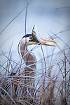 Great Blue Heron with a rainbow trout caught in Brown's lake in Montana