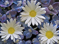 Close of of Baladonna flowers and Margerite Daisies with water drops.