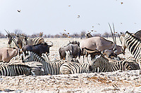 Oryx, Zebra and Wildebeeste at waterhole, Etosha NP, Namibia