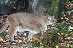 Mountain lion walking right full body view during fall months.