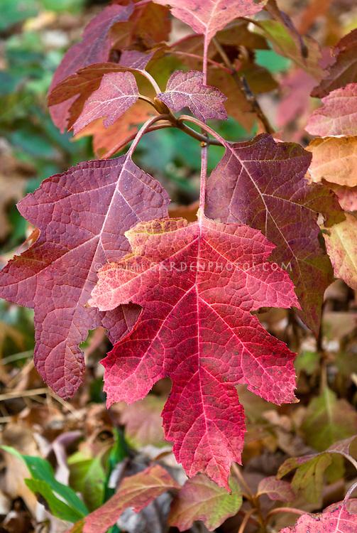 Hydrangea quercifolia 'Little Honey' Oakleaf Hydrangea in autumn fall foliage color