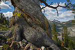 bristlecone pine tree high in the anaconda pintler wilderness area in montana