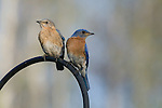 Male and female eastern bluebird perched on a shepard's hook