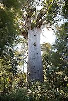 New Zealand.  Tane Mahuta, largest living Kauri Tree.  Waipoua Forest.