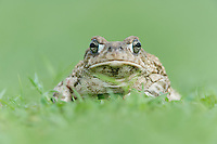 Texas Toad (Bufo speciosus), adult portrait, Dinero, Lake Corpus Christi, South Texas, USA