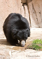 0326-1002  Sloth Bear (Labiated Bear), Melursus ursinus  © David Kuhn/Dwight Kuhn Photography.