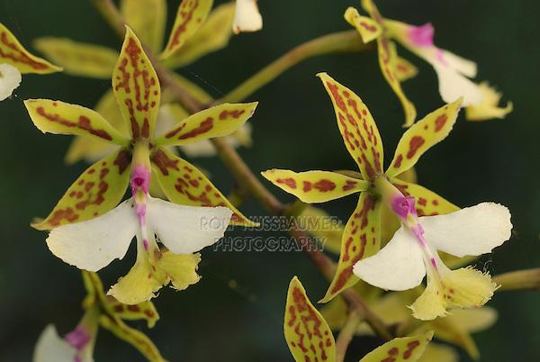 .Orchid flowers (Epidendrum stamfordianum), blooming, Belize