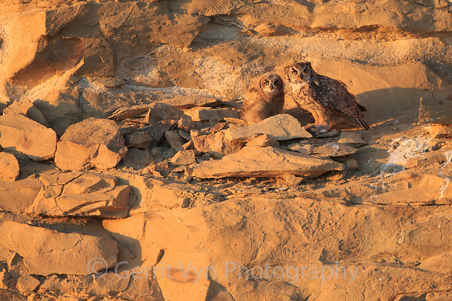 Adult male Great Horned Owl (Bubo virginianus) with a  juvenile just out of teh nest. Sublette County, Wyoming. June.