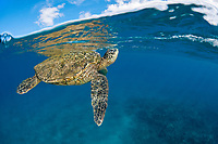 A green sea turtle, Chelonia mydas, lifts it's head to the surface for a breath, an endangered species. Hawaii.