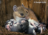 MU28-061z  White-Footed Mouse - nursing young -  Peromyscus leucopus