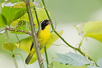 Adult Male Common Yellowthroat (Geothlypis trichas) in song, Roan Highlands, Tennessee and North Carolina