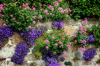 Rock wall covwered with flowers. Mousehole, England