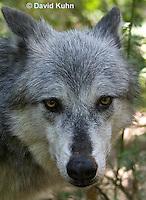 0823-1004  Gray Wolf (Grey Wolf), Canis lupus  © David Kuhn/Dwight Kuhn Photography