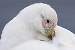 Snowy Sheathbill