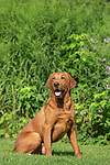 Fox red Labrador retriever