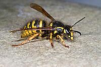 Falsche Kuckuckswespe, Dolichovespula adulterina, Parasitic Yellowjacket. Parasit, Parasitismus, parasitic. Die Falsche Kuckuckswespe ist ein Sozialparasit der Sächsischen Wespe