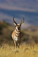 Pronghorn (Antilocapra americana) buck.  Western U.S., fall.