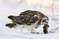 Short-eared Owl with a captured vole