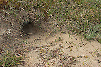 Kaninchenbau, Wild-Kaninchen, Europäisches Wildkaninchen, Kaninchen, Eingang zum unterirdischen Bau, davor Losung, Kot, Oryctolagus cuniculus, Rabbit, Lapin de garenne