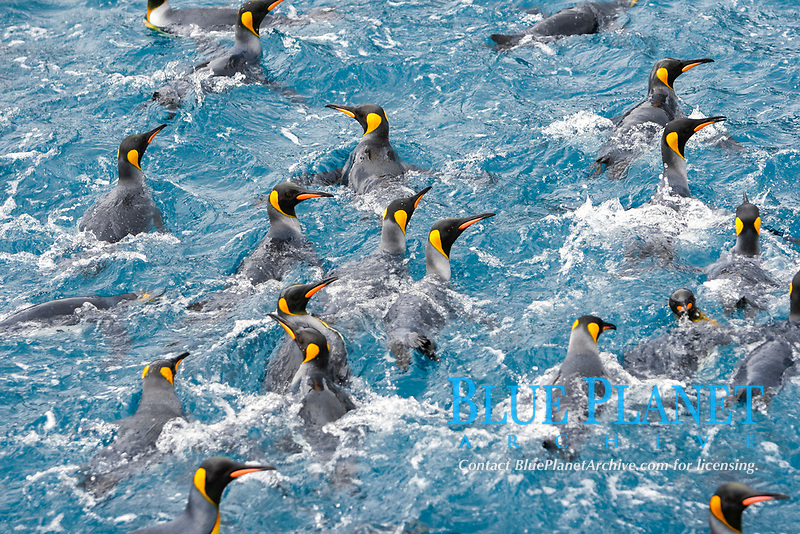 Adult king penguins (Aptenodytes patagonicus) swimming in the clear waters of Right Whale Bay on South Georgia Island, South Atlantic Ocean