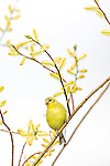 Female American goldfinch perched in a willow.