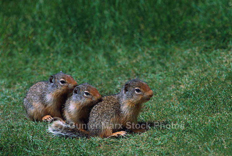 Three Alert Young Columbian Ground Squirrels (Spermophilus columbianus) lined up in a Row - North American Wildlife