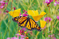 Monarch butterfly (Danaus plexippus) resting on California poppy.