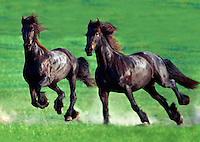 Two Friesian geldings gallop across green paddock.