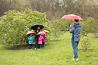 Lilacs at Arnold Arboretum, Boston, MA mothers day