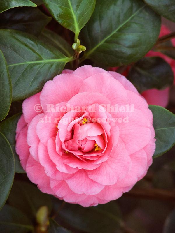 Scentsation Camellia, Camellia japonica