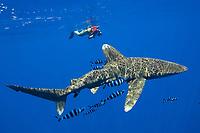 Woman photographs large oceanic white tip shark, Carcharhinus longimanus, with attendant pilot fish, Kona Coast, Big Island, Hawaii, USA, Pacific Ocean