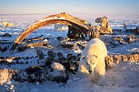 polar bears, Ursus maritimus, scavenging on baleen whale bones, Balaena mysticetus, in the 1002 coastal plain of the Arctic National Wildlife Refuge, Alaska, polar bear, Ursus maritimus