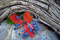 Oregon grape leaves and berries. Great Basin National Park, Nevada