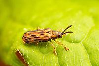 Leaf Beetle (Sumitrosis inaequalis)