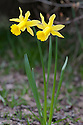 Daffodil (Narcissus 'Peeping Tom'), mid March.