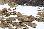 A male wolf (Canis lupus) on rocky snow covered slopes. Ulley Valley in the Himalayas, Ladakh, India.